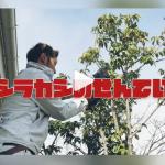 【動画あり】庭木「シラカシ」の剪定の様子!